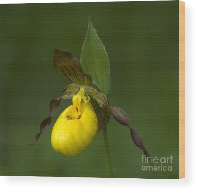 Ladys Slipper Wood Print featuring the photograph Yellow Lady's Slipper by Bob Christopher