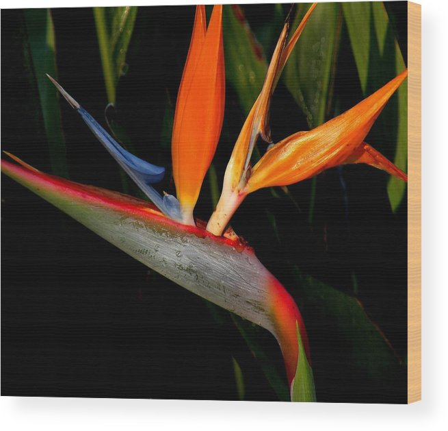 Flowers Wood Print featuring the photograph Bird Of Paradise by Rosalie Scanlon