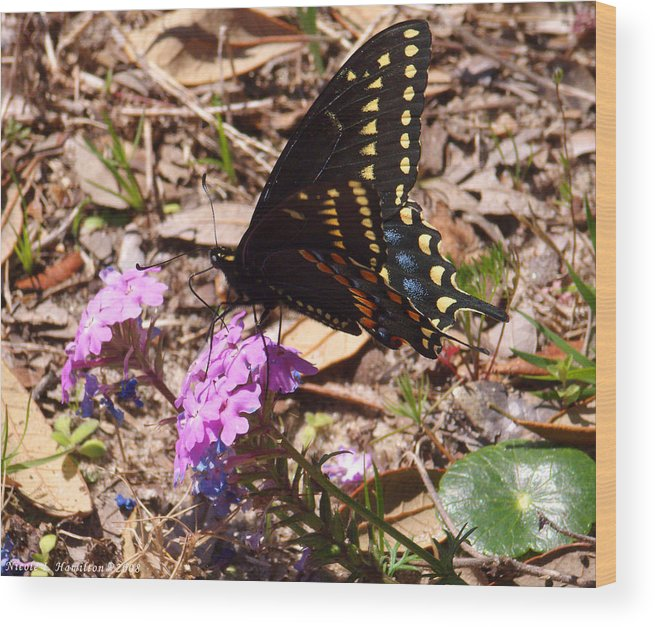Butterfly Wood Print featuring the photograph Black Swallowtail Butterfly by Nicole I Hamilton