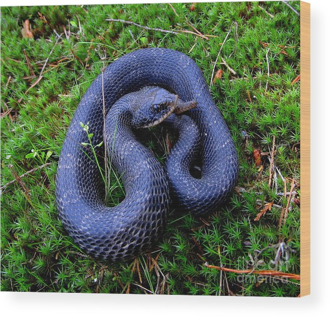 Blue Hognose Prints Wood Print featuring the photograph Blue Hognose by Joshua Bales