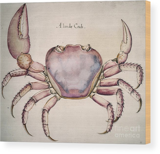 1585 Wood Print featuring the photograph Land Crab by Granger