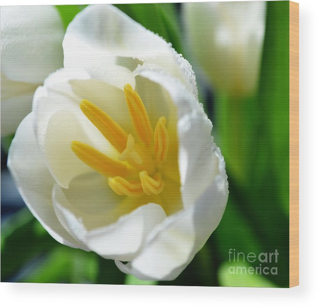 Tulips Wood Print featuring the photograph Macros White Tulip May-2011 by Eva Thomas