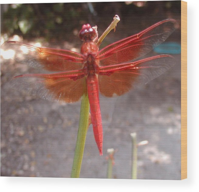 Dragonfly Wood Print featuring the photograph My Dragonfly by Gail Salitui