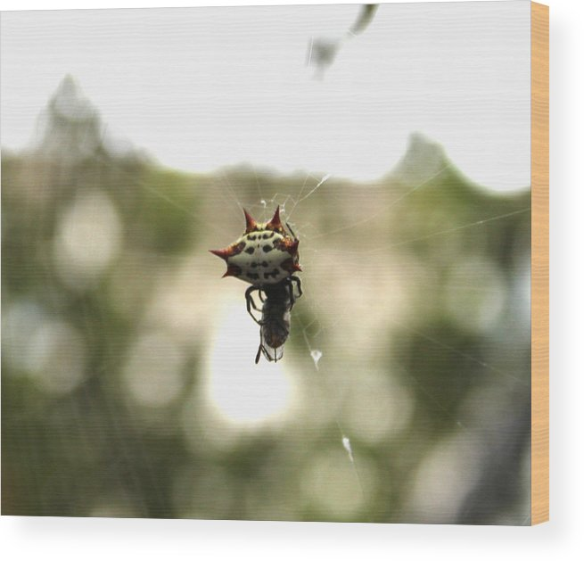 Http://fineartamerica.com/featured/orb-weaver-spider3-evelyn-patrick.html Wood Print featuring the photograph Orb Weaver Spider2 by Evelyn Patrick