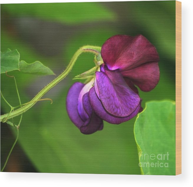 Flower Wood Print featuring the photograph Purple Sweet Pea by Marjorie Imbeau