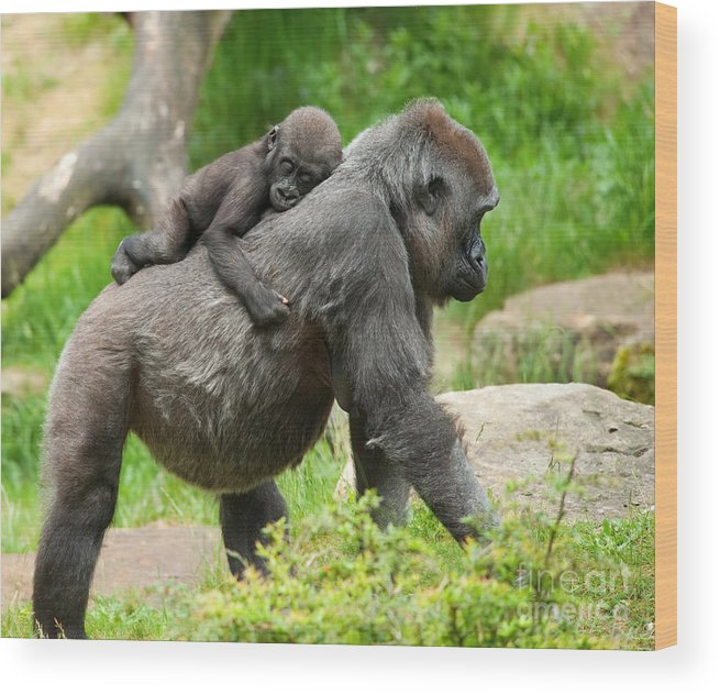 Small Wood Print featuring the photograph Close-up Of A Cute Baby Gorilla And by Eric Gevaert