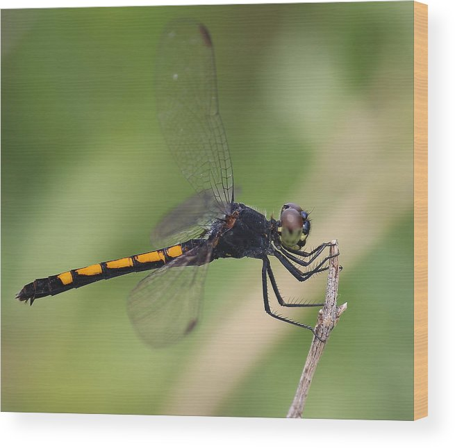 Dragon Wood Print featuring the photograph Dragonfly by David Jones
