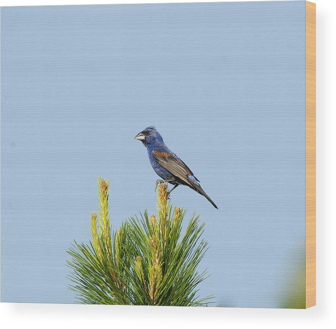 Wood Print featuring the photograph Male Blue Grosbeak by Daniel Nowak