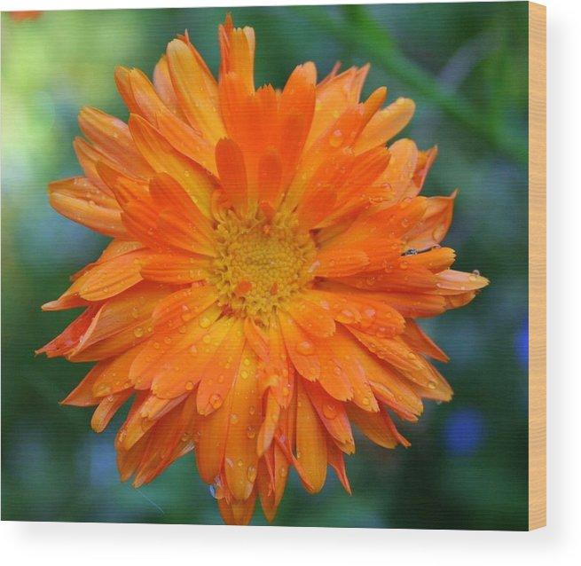 Flowers Wood Print featuring the photograph Orange Juice by Debra Kaye McKrill