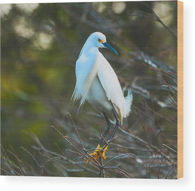 Snowy Egret Wood Print featuring the photograph Your Nest Or Mine by Christina Manassa