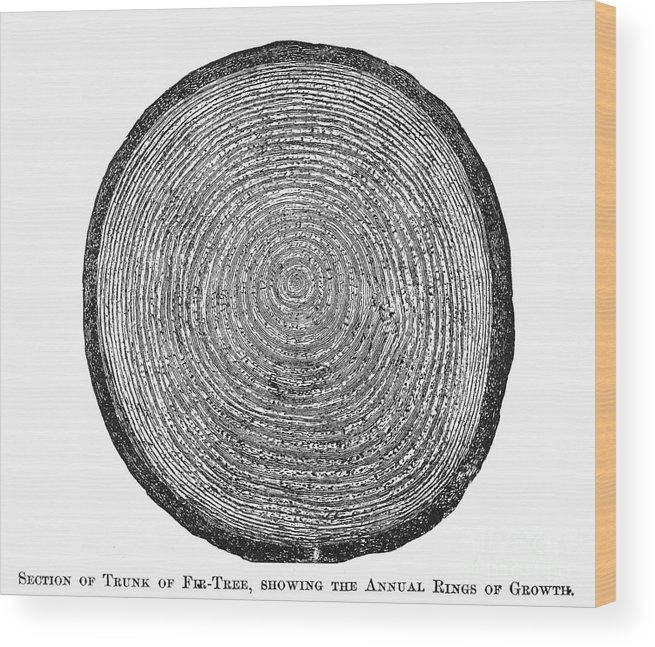 19th Century Wood Print featuring the photograph Botany: Fir Tree Trunk by Granger