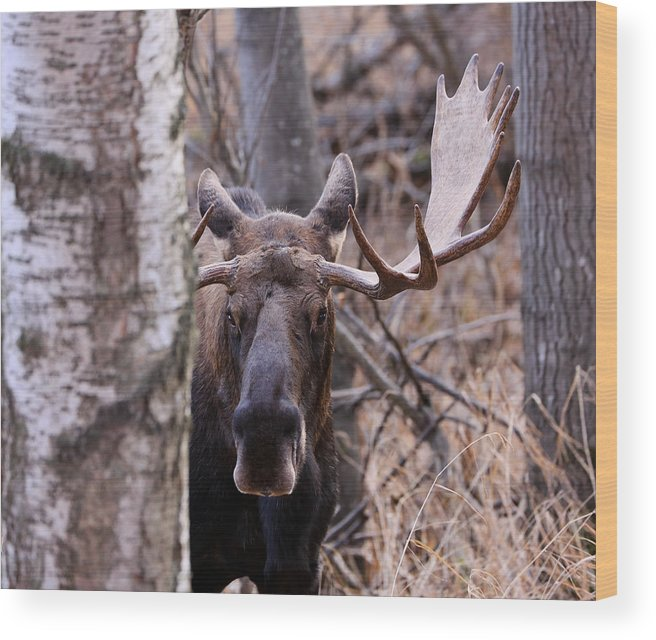Sam Amato Photography Wood Print featuring the photograph Bull Moose Stare Down by Sam Amato