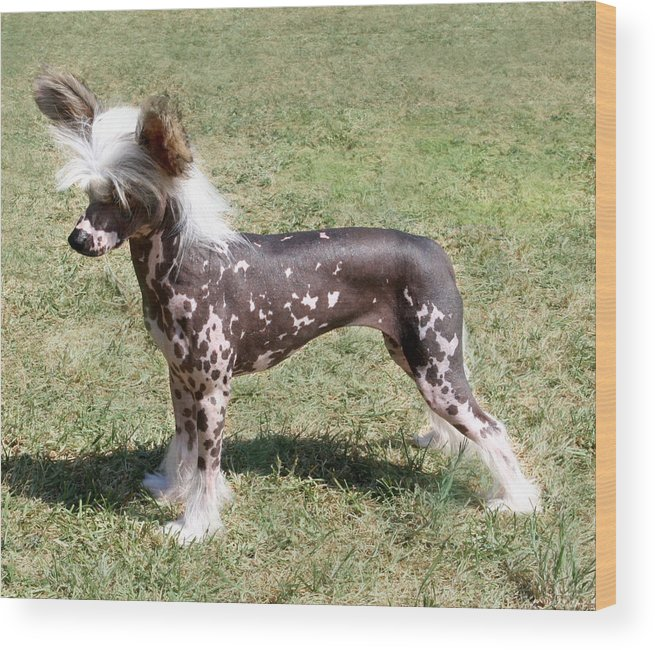 Dog Chinese Crested Dog Hairless Wood Print featuring the photograph Chinese Crested Hairless by Rebecca Newton