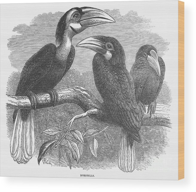 19th Century Wood Print featuring the photograph Hornbills by Granger