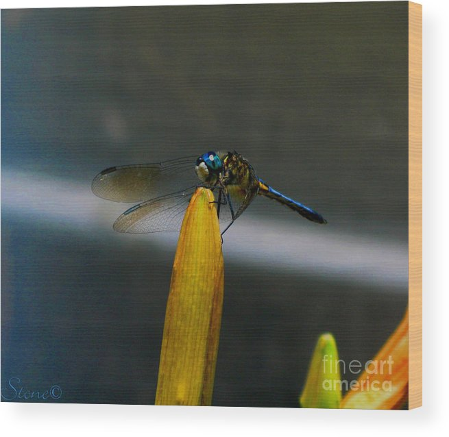 Dragonfly Wood Print featuring the photograph Blue Dhasher Dragonfly by September Stone
