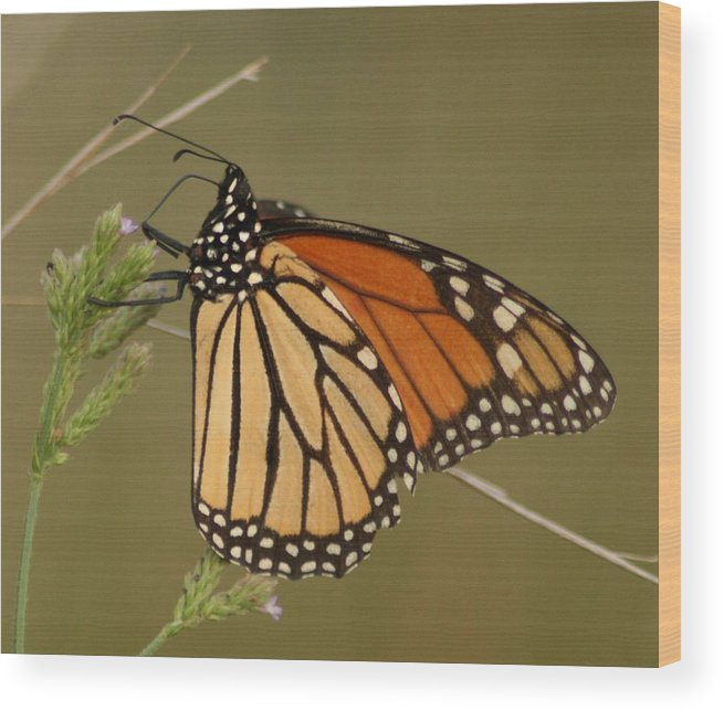 Butterfly Wood Print featuring the photograph Butterfly by Walt Reece