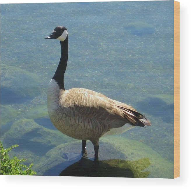 Canadian Goose Wood Print featuring the photograph Canadian Goose by Kathy Roncarati