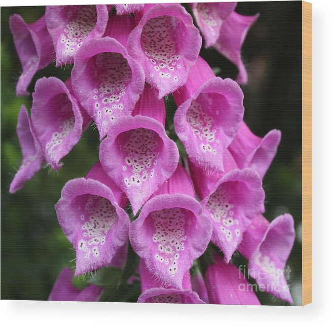 Flowers Wood Print featuring the photograph Foxglove by Edward R Wisell
