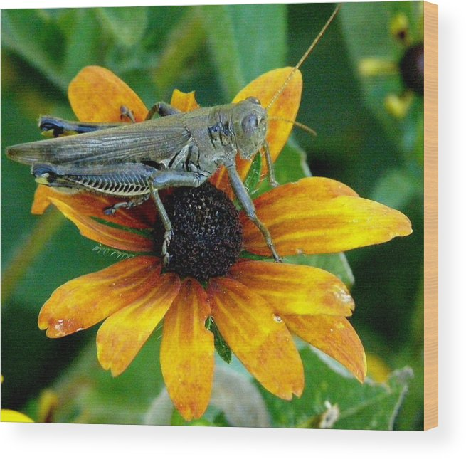Flowers Wood Print featuring the photograph Hopper On Black Susan Flower by Jeanette Oberholtzer