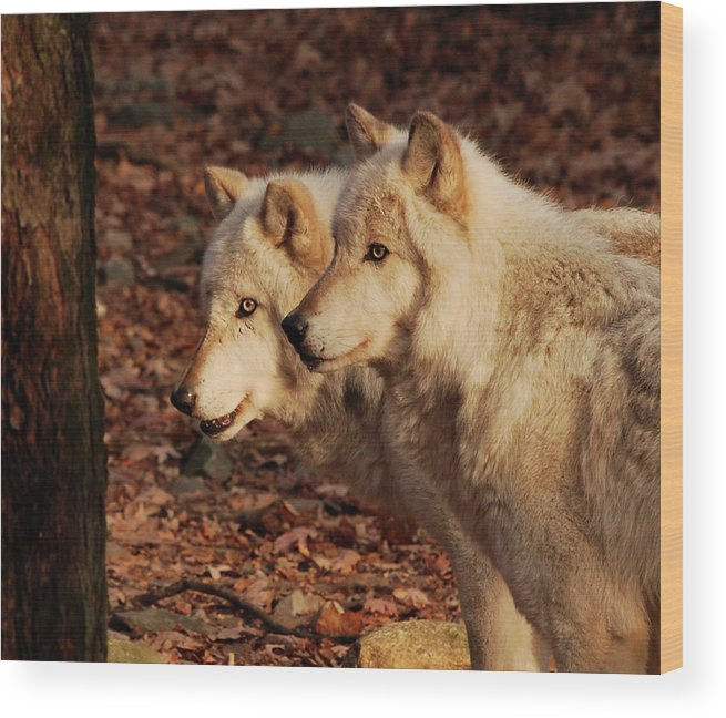 Wolf Wood Print featuring the photograph Pair Of Beauties by Lori Tambakis