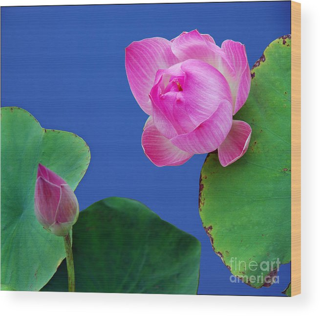 Water Lili Green Pink Flower Blue Color Nature Wood Print featuring the photograph Water Lili by Ty Lee