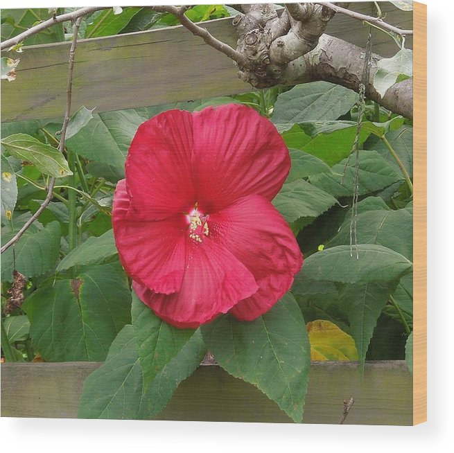 Red Wood Print featuring the photograph A Red Hibiscus by Chad and Stacey Hall