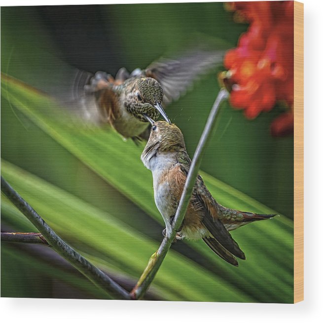 Canada Wood Print featuring the photograph Birds Of Bc - No. 32 - Two Rufous Hummingbirds - Selasphorus Ruf by Paul W Sharpe Aka Wizard of Wonders