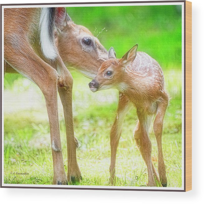 Animal Behavior Wood Print featuring the photograph Doe Nuzzles Her Fawn by A Gurmankin