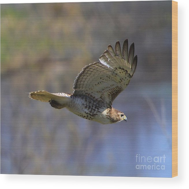 Related Tags: Birds Of Prey Artwork Wood Print featuring the photograph The Flying Hawk by Robert Pearson