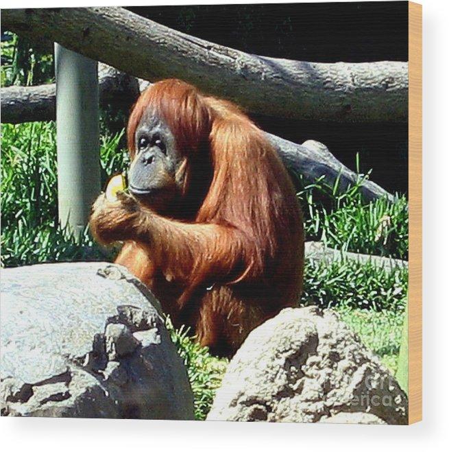 Animal Wood Print featuring the photograph Female Orangutan-san Diego by Jay Milo