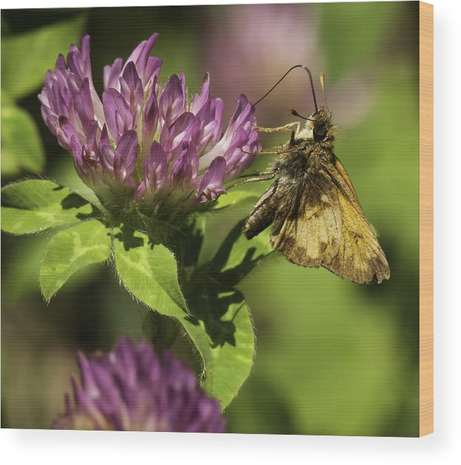 Salt And Pepper Grass Skipper Wood Print featuring the photograph Sweetness Of Summer by Thomas Young