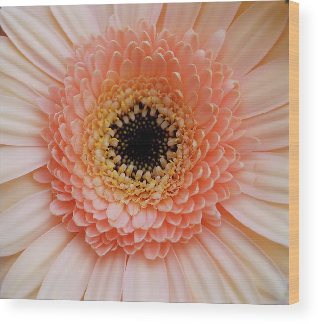 Gerber Wood Print featuring the photograph Multicolor by JAMART Photography