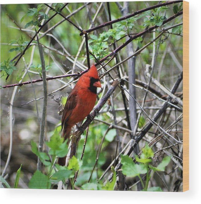 Birds Wood Print featuring the photograph Northern Cardinal by Dennis Symes