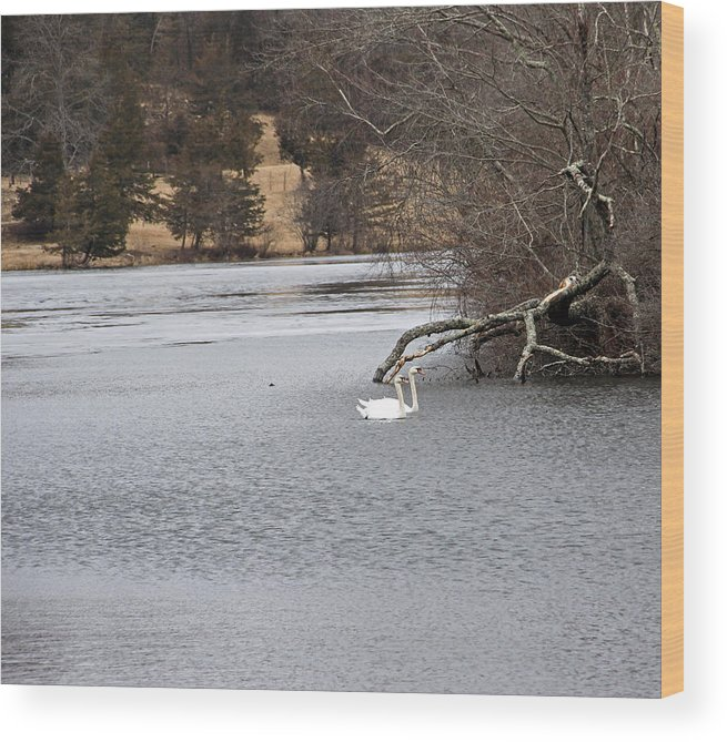 Swans Wood Print featuring the photograph Swan Lake 1 by Gerald Mitchell