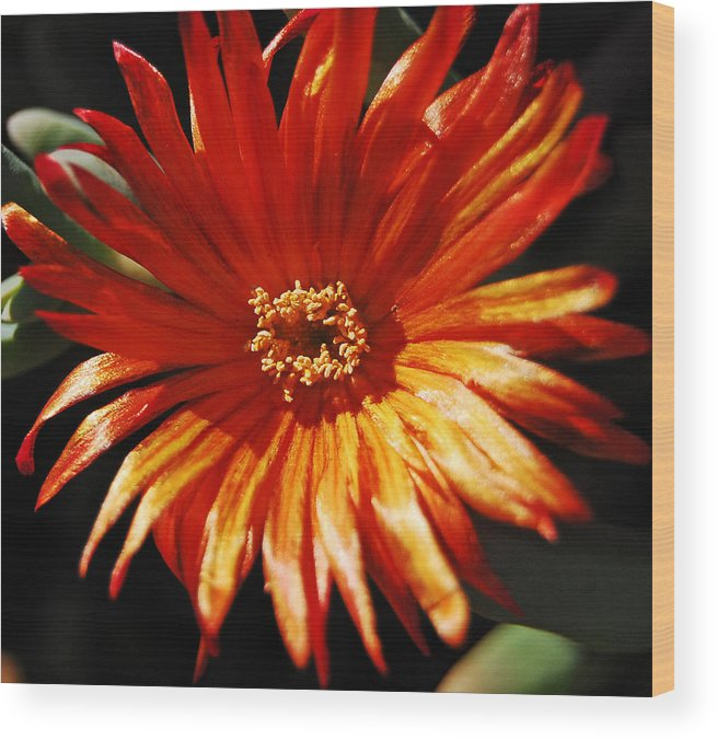 Sun Wood Print featuring the photograph Sunny Iceplant by Jean Booth