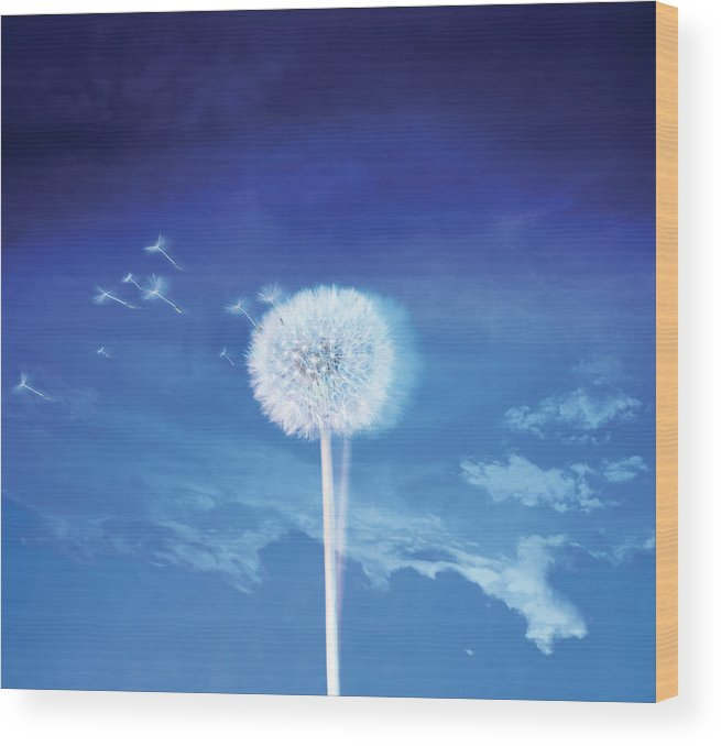 Tranquility Wood Print featuring the photograph Dandelion In The Wind by Zap Art