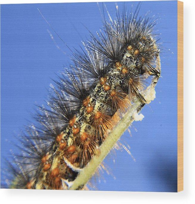 Hovind Wood Print featuring the photograph Salt Marsh Caterpillar by Scott Hovind