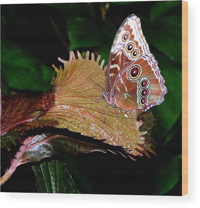 Butterfly Wood Print featuring the photograph Blue Morph Butterfly by Mindy Newman