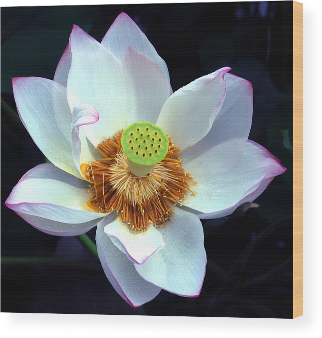 Flower Wood Print featuring the photograph Exotic Lotus by Blima Efraim