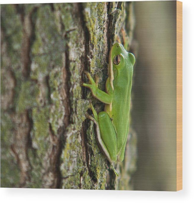Green Wood Print featuring the photograph Green Tree Frog Thinking by Douglas Barnett
