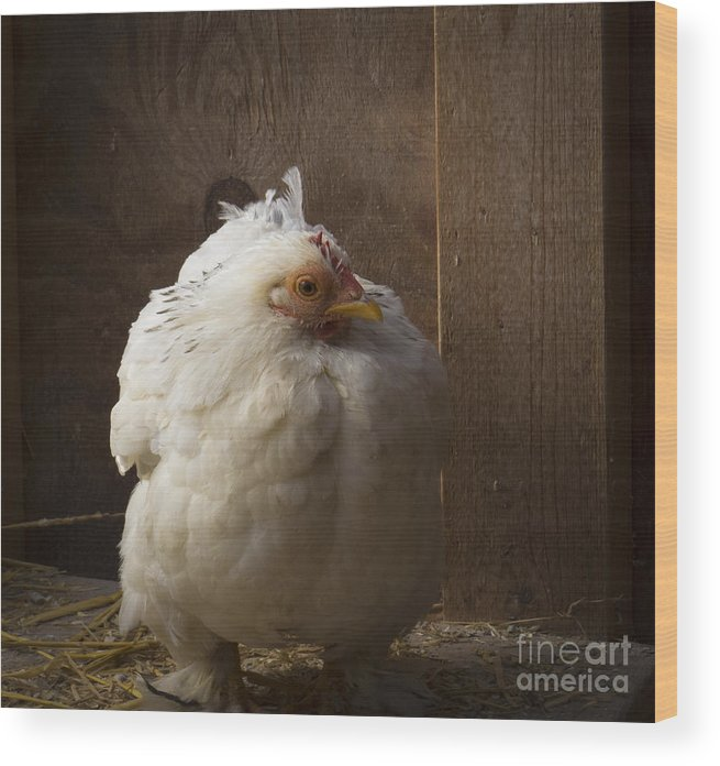 Fauna Wood Print featuring the photograph Cold Chicken by Lili Feinstein