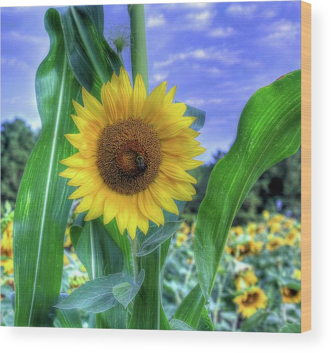 #sunflower Wood Print featuring the photograph Flower # 38 by Albert Fadel