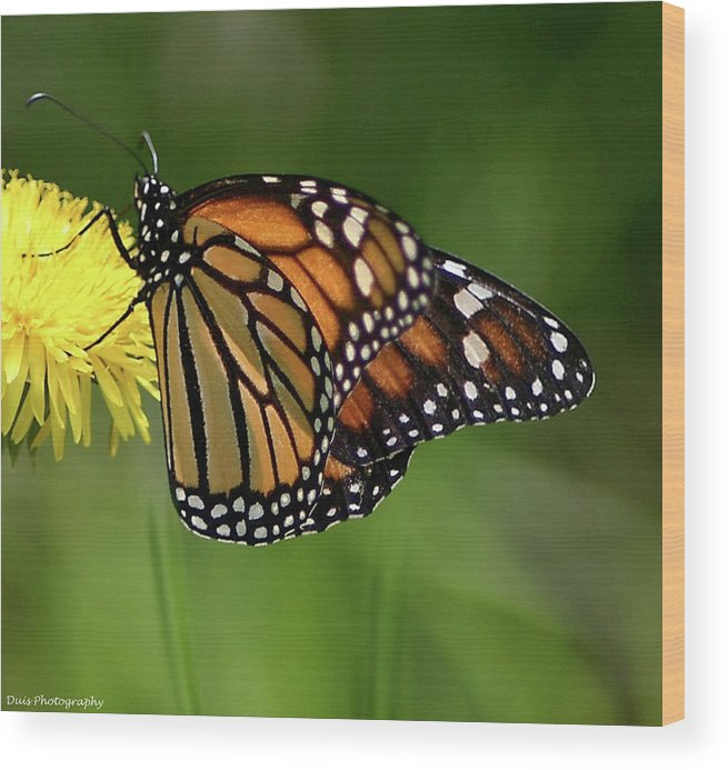 Butterfly Wood Print featuring the photograph Monarch Butterfly by Vincent Duis