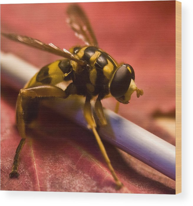 Insect Wood Print featuring the photograph Syrphid Fly Poised by Douglas Barnett