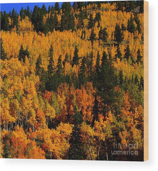 Fall Aspens Wood Print featuring the photograph Fall Aspens by Patrick Short