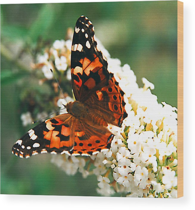 Butterfly Wood Print featuring the photograph Butterfly Bush by Paul Trunk