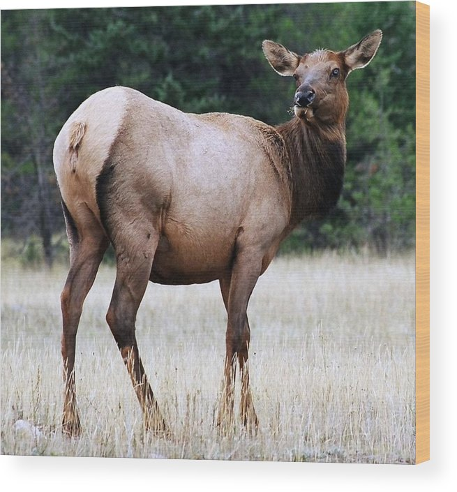 Elk Wood Print featuring the photograph Feme Elk by Tiffany Vest