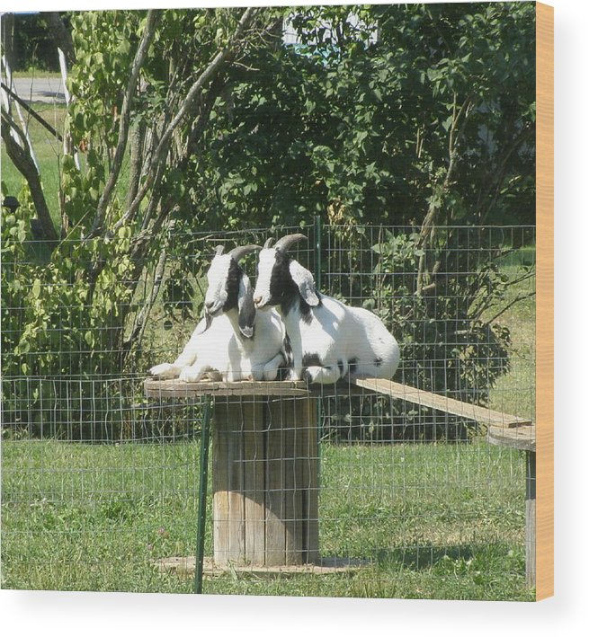 Animals Wood Print featuring the photograph Goats Dreaming Of Trouble by Jeanette Oberholtzer