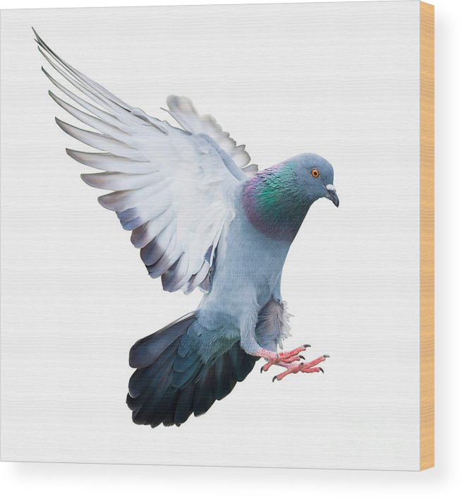 Pigeon Wood Print featuring the photograph Flying Pigeon Bird In Action Isolated by Mrs ya