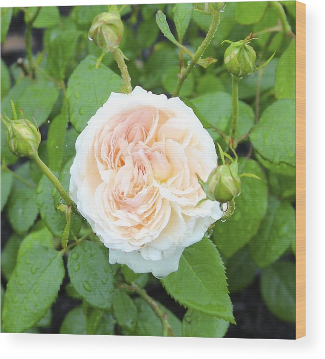 Pale Pink Wood Print featuring the photograph Rose Bloom by Patricia Hiltz
